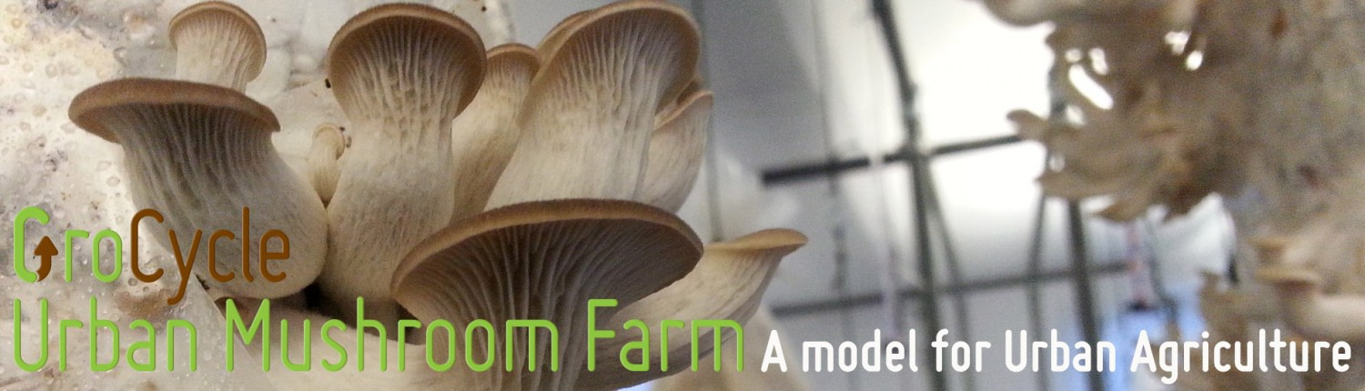 Oyster mushrooms growing from coffee grounds at GroCycle Urban Mushroom Farm